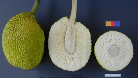 ARS_breadfruit49