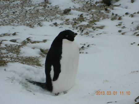 edle penguins